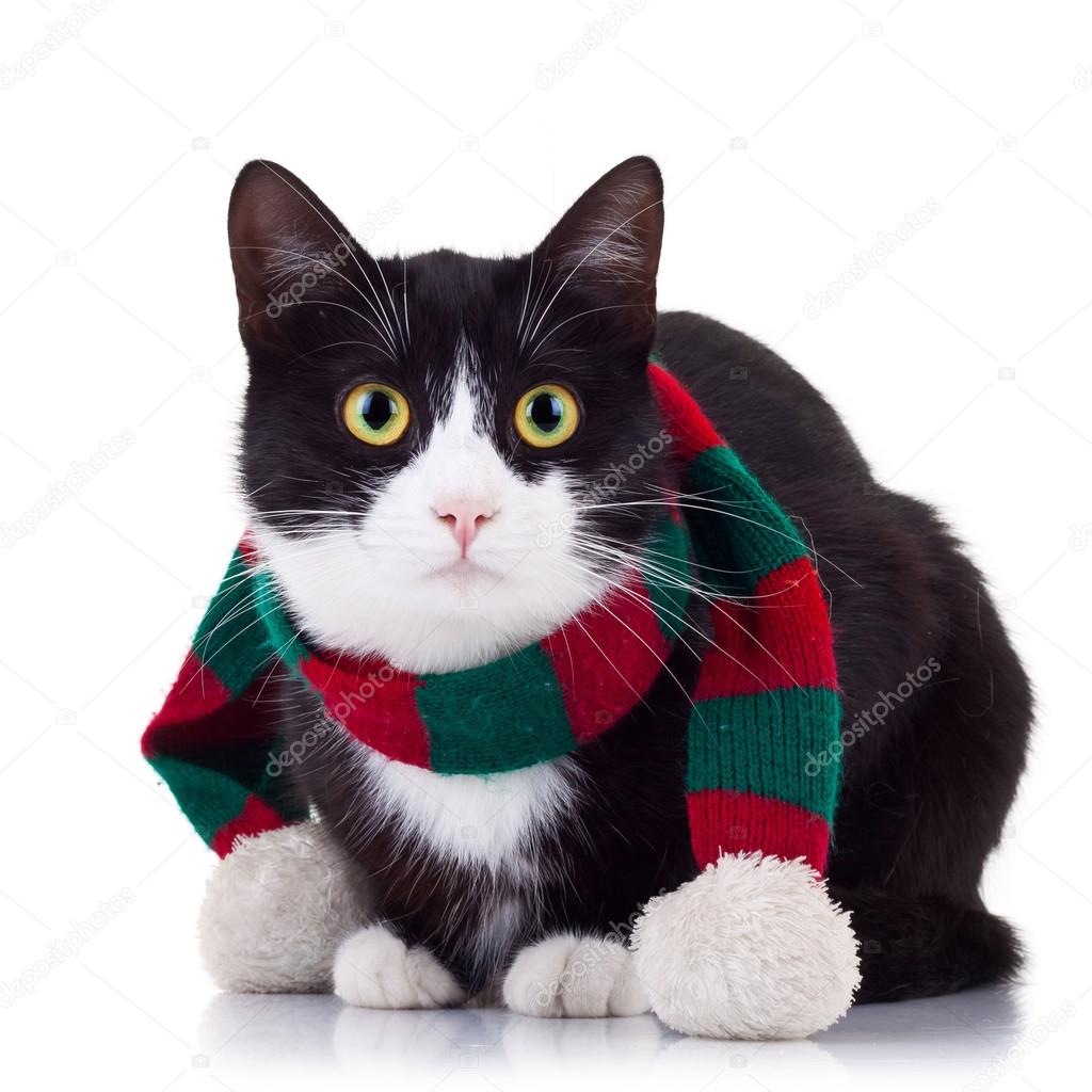 Cute black and white cat wearing winter scarf and looking at the camera — Stok fotoğraf #12747026