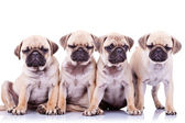 Four bored mops puppy dogs — Stock Photo