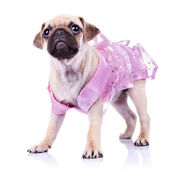 Cute pug puppy in a pink dress — Stock Photo