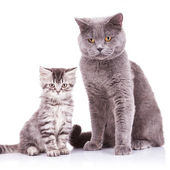 English cats, adult and cub — Stock Photo