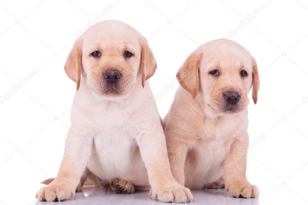 两个可爱的拉布拉多犬小狗坐在