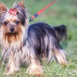 Adorable yorkshire terrier on a leash - Stock Photo