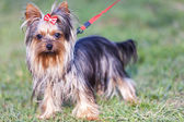 Adorable yorkshire terrier on a leash — Stock Photo
