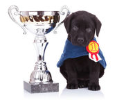 Labrador retriever puppy dog sitting near a big trophy — Stock Photo