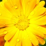 Герберы с капли дождя — Стоковое фото #2333721