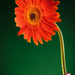 Orange gerbera in a vase — Stock Photo #26352777