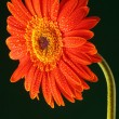Vertical photo of an orange wet gerbera — Stock Photo