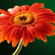 Closeup of orange gerbera with drops — Stock Photo