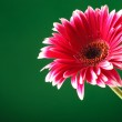 Red gerbera coming from corner — Stock Photo #26352819
