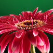 Gerbera flower on green backround — Stock Photo #26352821