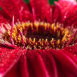 Closeup of the center of a red flower — Stock Photo #26352823