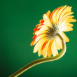 Gerbera flower on green — Stok fotoğraf #26352873