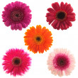 Stock Photo: Five gerbera flowers of different colours
