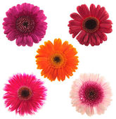 Five gerbera flowers of different colours — Stock Photo