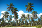 Palm trees forest on the beach of punta cana — Stock Photo