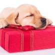 Little labrador retriever is sleeping on a red present box — Stock Photo #46576557