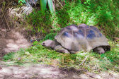 Giant turttle in seychelles feeding  — ストック写真