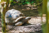 Aldabra giant tortoise turtle — Stock Photo