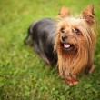 Happy little yorkshire terrier puppy dog panting — Stock Photo #50684123