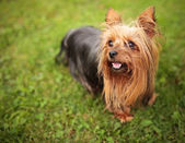 Happy little yorkshire terrier puppy dog panting  — Stock Photo