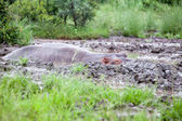 Hippopotamus in mud pool — Stock Photo