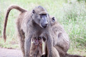 Family of Olive Baboon on the road — Stockfoto