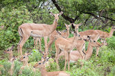 Flock of impala antelope — Stock Photo