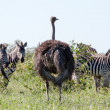 Burchell's Zebras and Ostrich - Stock Photo