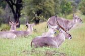Flock of Waterbuck antelopes — Stock fotografie