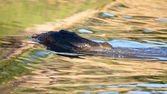 Haunting crocodile in shallow water — Stock Photo
