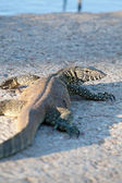 Haunting Varanus - Monitor Lizard — Stock Photo