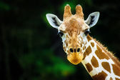 The giraffe — Stock Photo