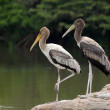 Painted storks — Stock Photo