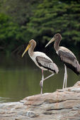Painted storks — Foto Stock