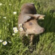 Happy pig - Foto Stock