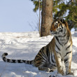 Stock Photo: Siberitiger