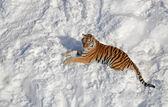 Siberian tiger — Stock Photo