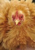 Pollo — Foto Stock