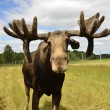 Moose — Stock Photo #28976555