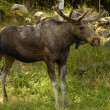 Moose — Stock Photo #28976629