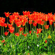 Red Tulips — Stock Photo #9575295