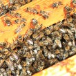 Bees inside the hive — Stock Photo #12316303