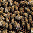 Bees inside the hive  — 图库照片