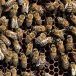Bees inside the hive — Stock Photo #12316306