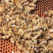 Bees inside the hive  — Foto de Stock