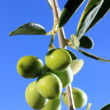 Green olives on branch with leaves — Stock Photo