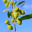 Green olives on branch with leaves - Stok fotoğraf