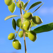 Green olives on branch with leaves - Stockfoto