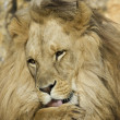 Lion portrait - Foto Stock