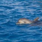 Delfín en el mar — Foto de Stock